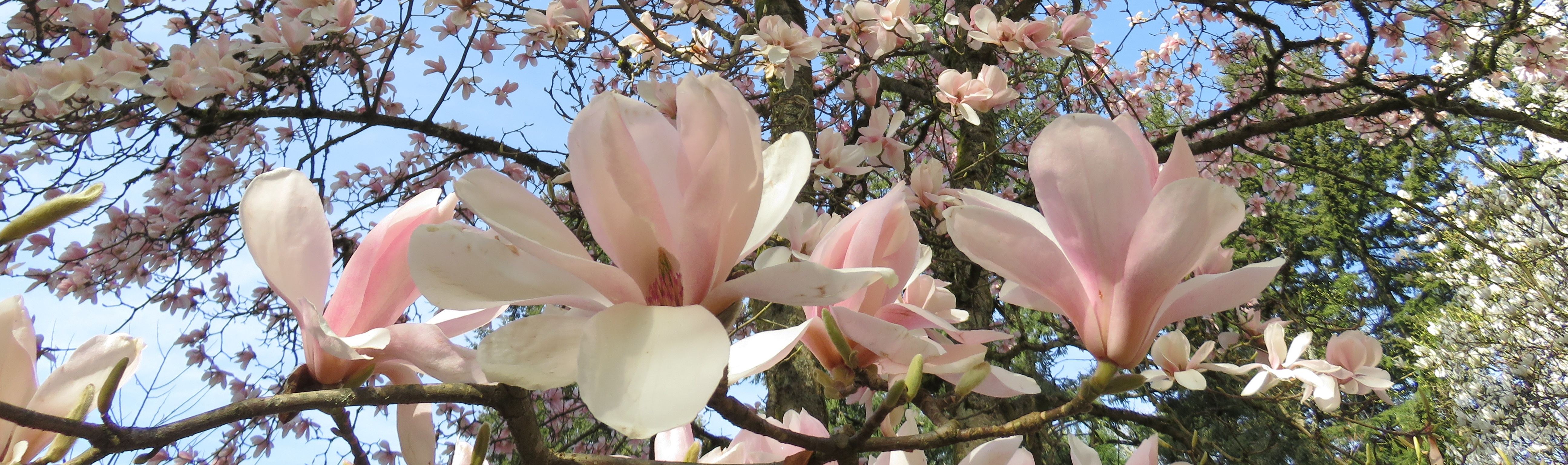 Magnolia Tour with the Curator