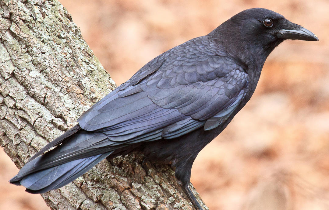 Corvids: Crows, Ravens, Jays, and Magpies – Virtual Workshop